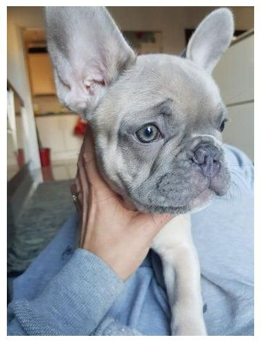 Coat Color Variations of a French Bulldog