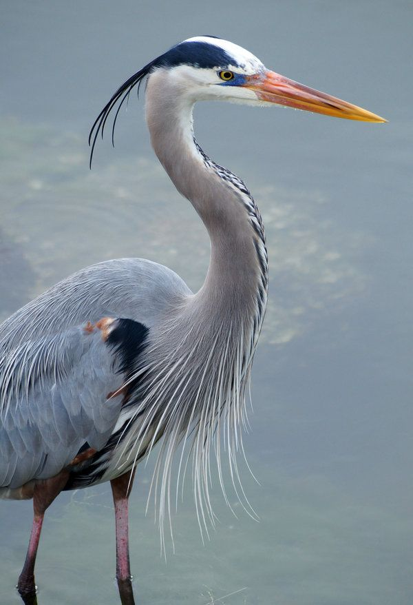 Great Blue Heron, common near the shores of open water and in wetlands over most of North America and Central America as well as the Caribbean and the Galápagos Islands.