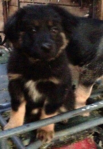 Our Newfoundland German Shepherd Mix Puppy Sadie German Shepherd Mix Puppies Puppies Newfoundland Dog