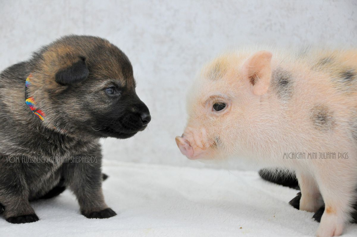 These German Shepherd Puppies And Mini Pigs Are Best Friends