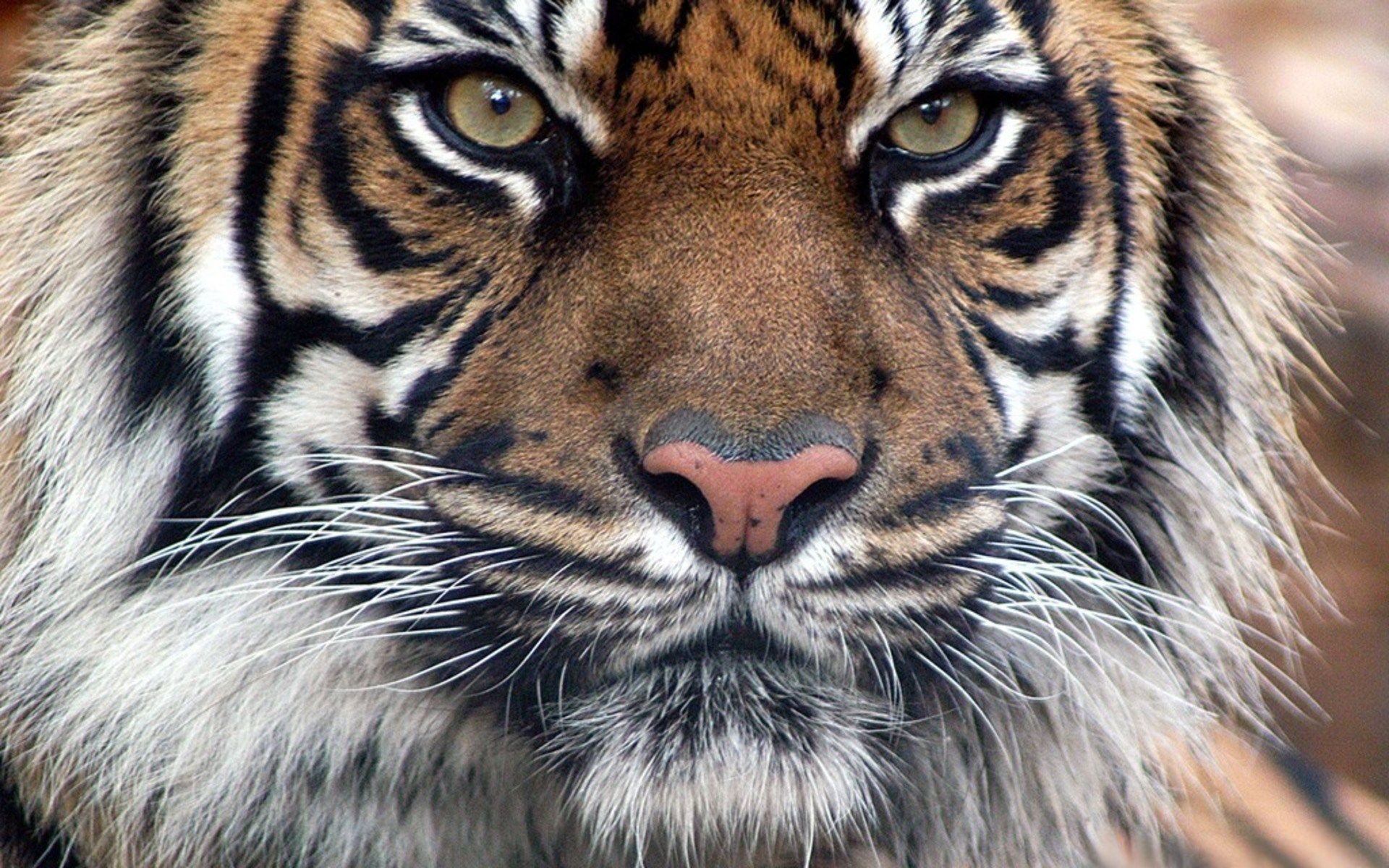 Wall stickers wilko - 1920x1200 Px Wallpapers For Desktop Tiger Pic By Burke Wilkinson For Trunkweed Com