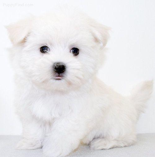 Maltese Pictures Maltese Dogs Maltese Yorkie Puppy Super Cute