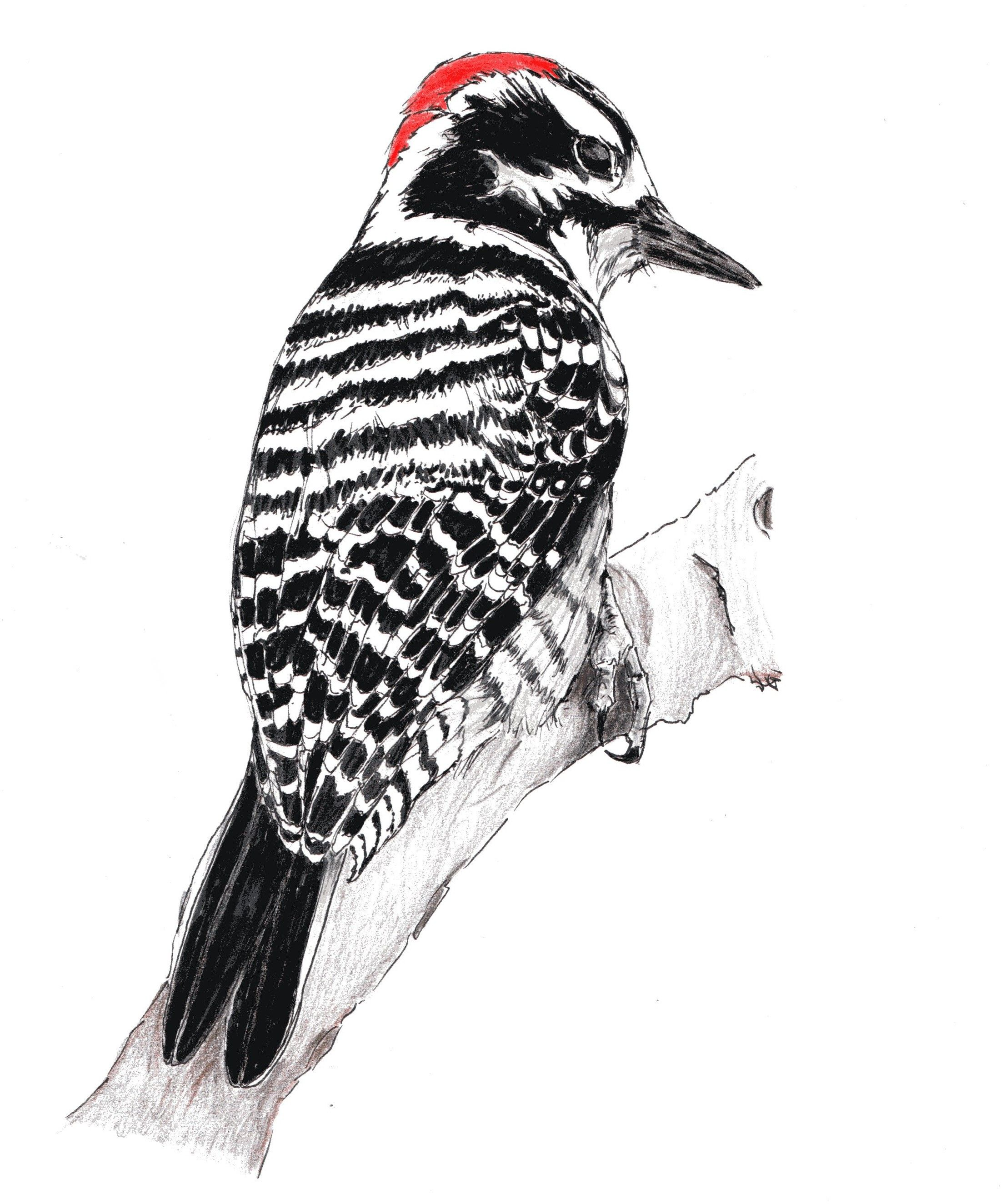 Nuttall S Woodpecker Flying