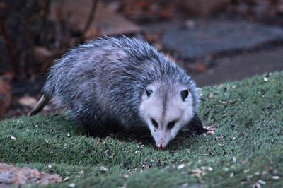 Below Bird Feeder Early Morning: A Male Virginia Opossum Has Been  Over Wintering In