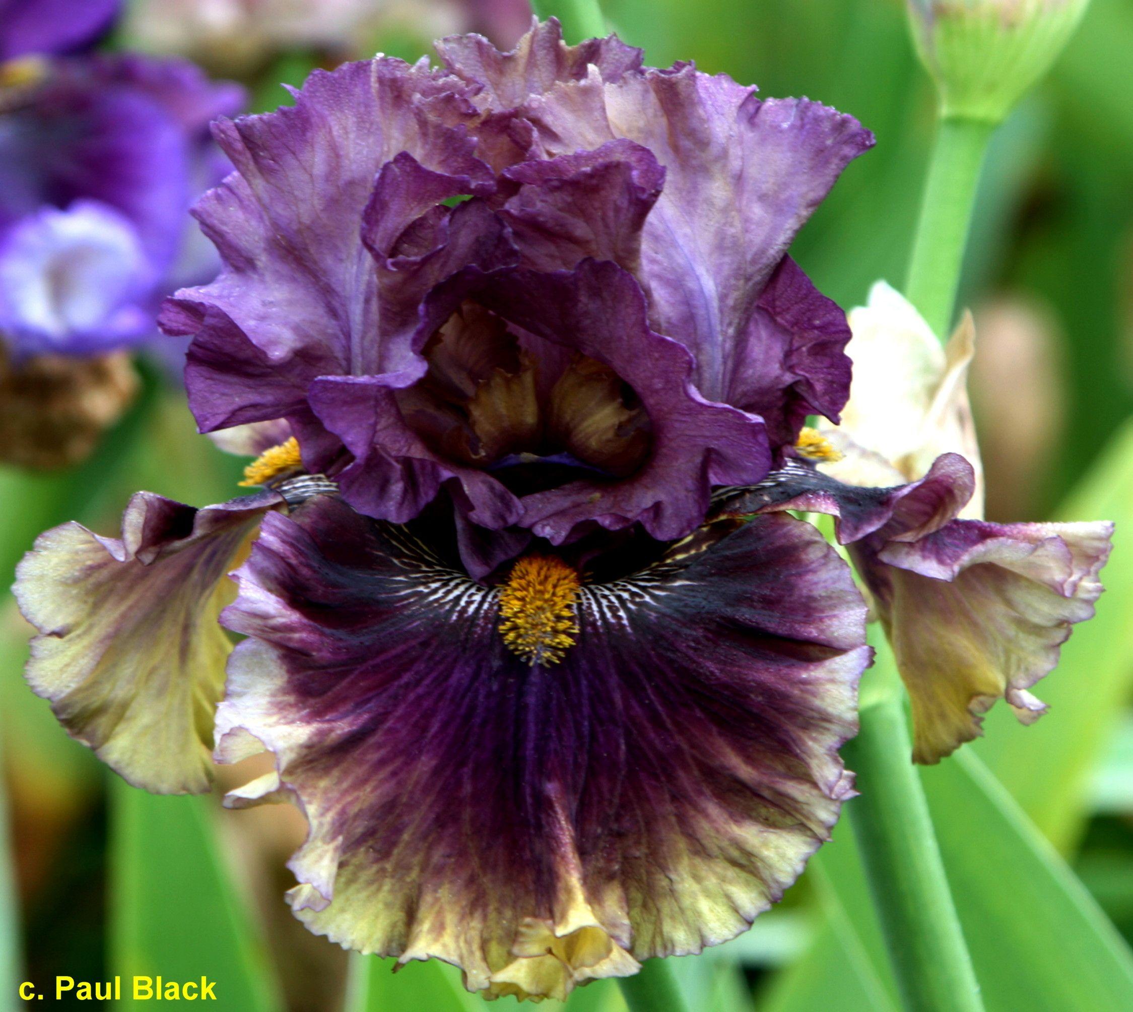Tbcreatureofthenight Tbathrue Iris Wiki With Images Iris