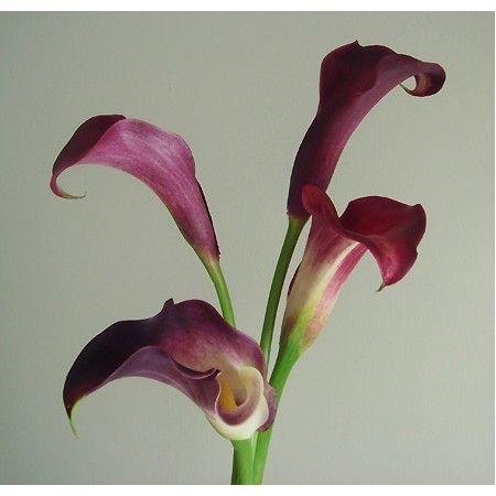 【生花】カラー 赤 (マジェスティックレッド、レッドデリシャスなど):::切り花・生花 の通販なら - はなどんやアソシエ