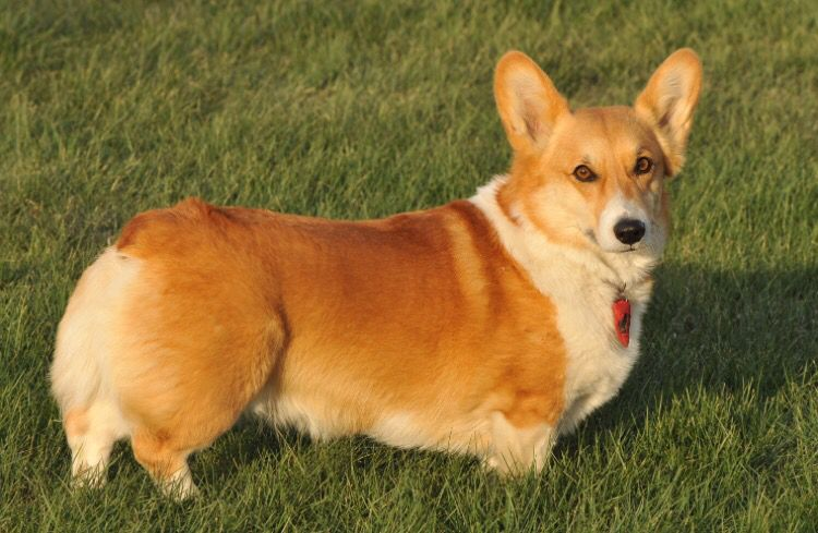 Robot Politician Uk Welsh Corgi Puppies Pembroke Welsh Corgi