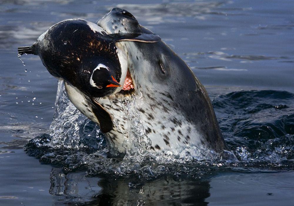 Paul-Nicklen-Leopard-Seal-007.jpg | dolphins, orca, shark ...
