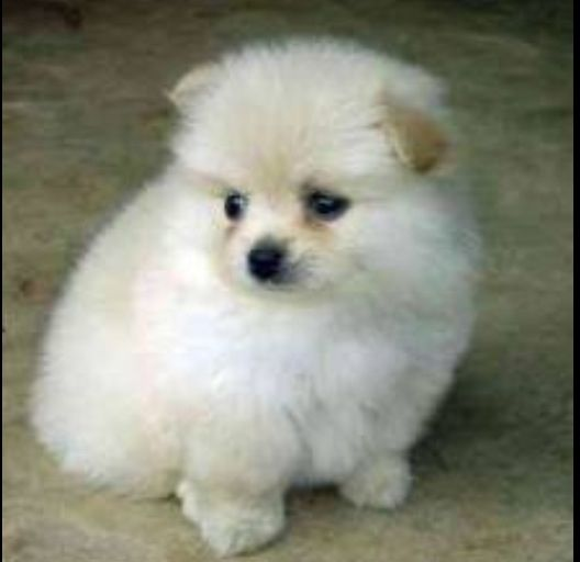 I See Something Beside You Pomeranian Puppy For Sale Pomeranian Puppy Pomeranian Dog