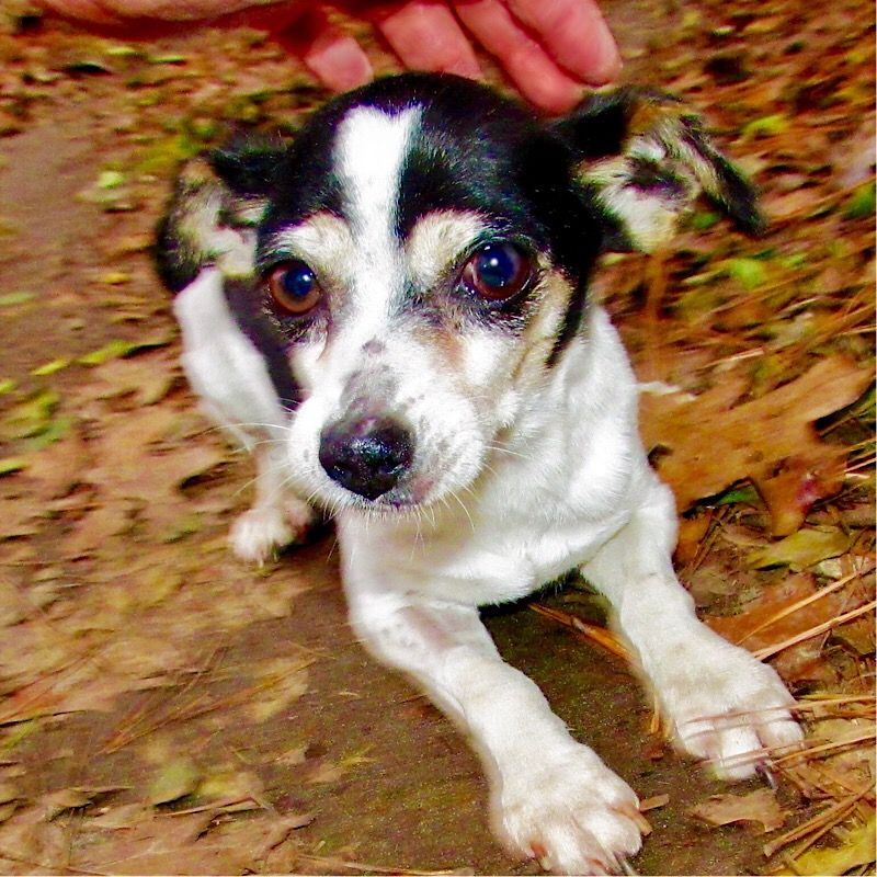 Rat Terrier dog for Adoption in Atlanta, GA. ADN783500 on