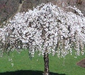 Dwarf Flowering Trees For Zone 5 White Dwarf Weeping Snow Cherry Tree 12 15 In Bonsai Flowerin Small Ornamental Trees Fast Growing Trees Trees For Front Yard