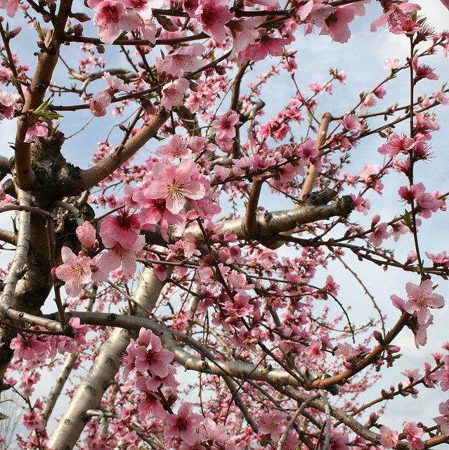 Peach Blossoms at Baxter