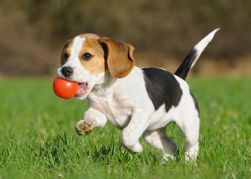 Pet Supplies For Dogs And Cats Beagle Puppy Stinky Dog Puppy