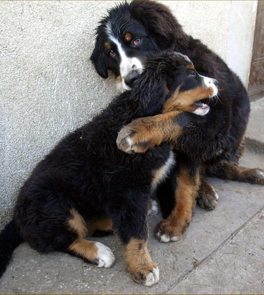 Bernese Mountain Dog Buddies Susse Tiere Hunde Tierbilder