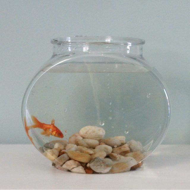 Can Goldfish Live In A Bowl Without A Filter Pet Goldfish Betta Fish Bowl Goldfish Bowl