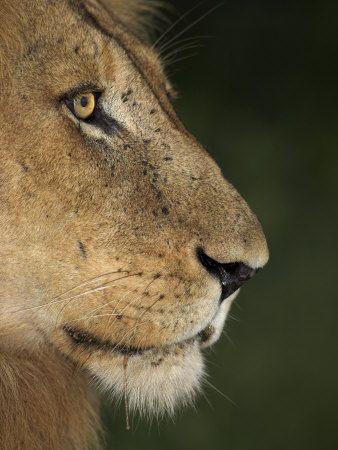 Lion (Panthera Leo), Kruger National Park, South Africa, Africa.