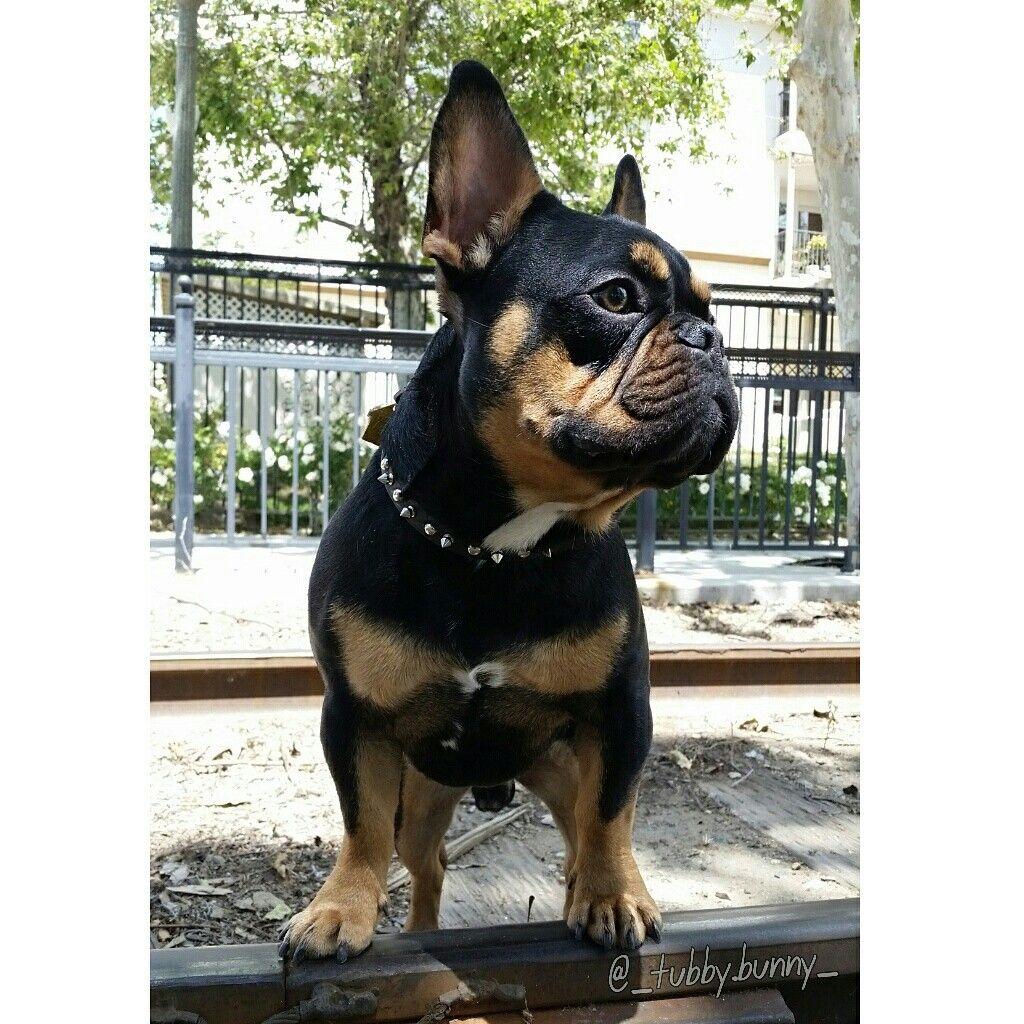 Black Tri Merle French Bulldog