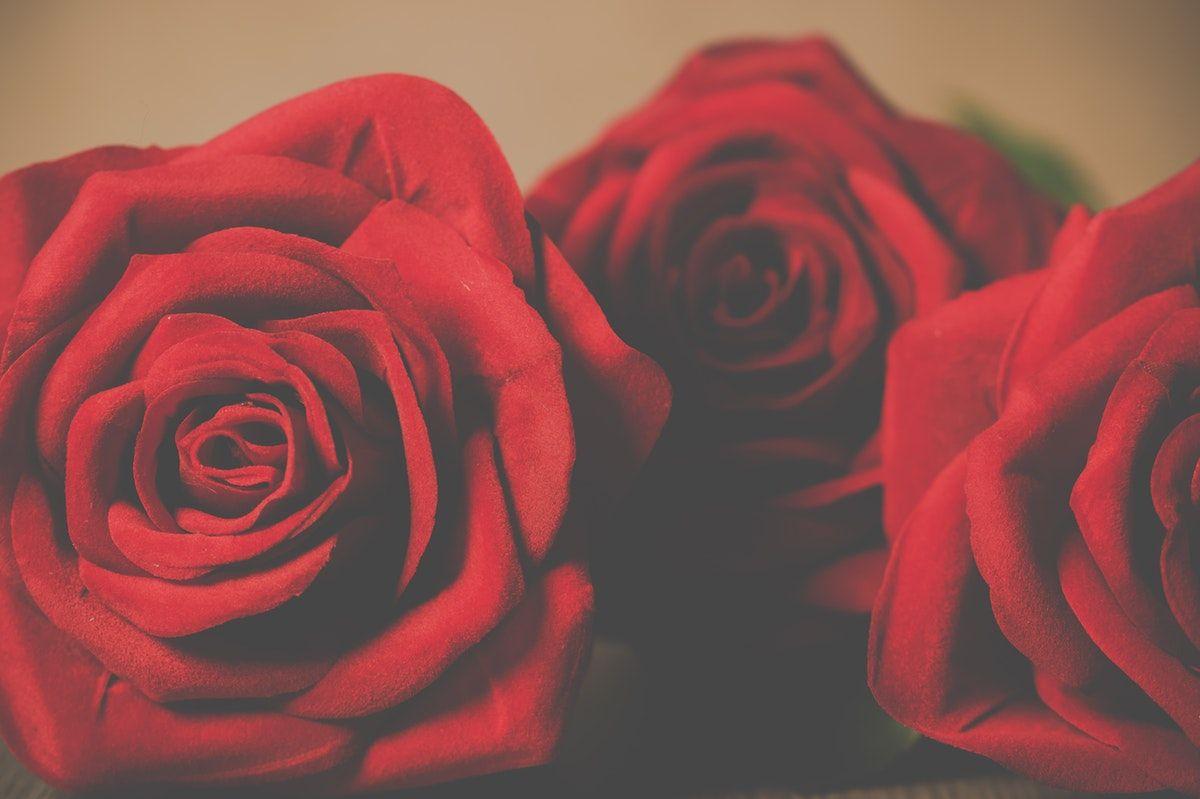 Three Red Petaled Rose Flowers  Free Stock Photo