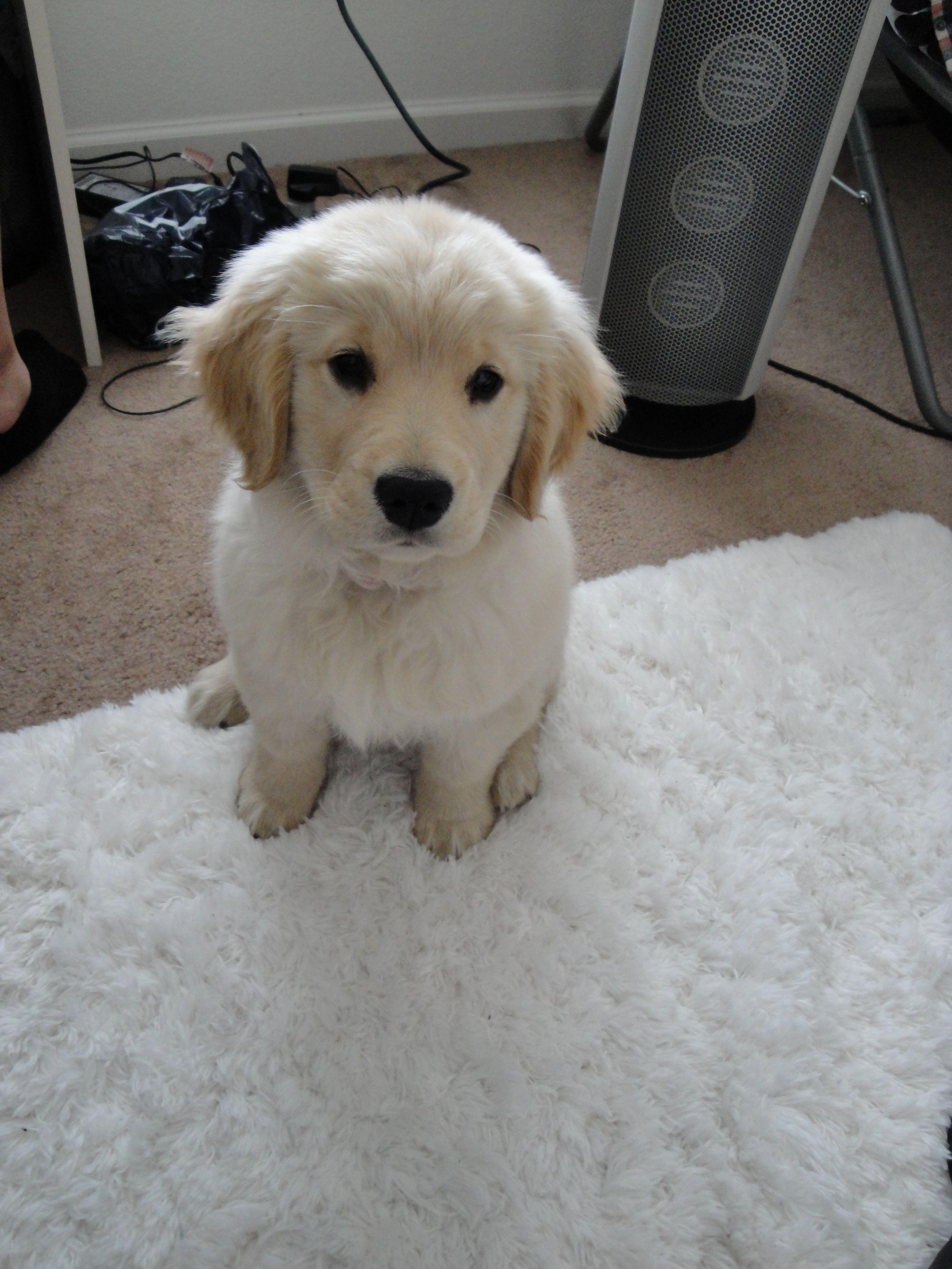 Golden retriever puppy for sale cheap