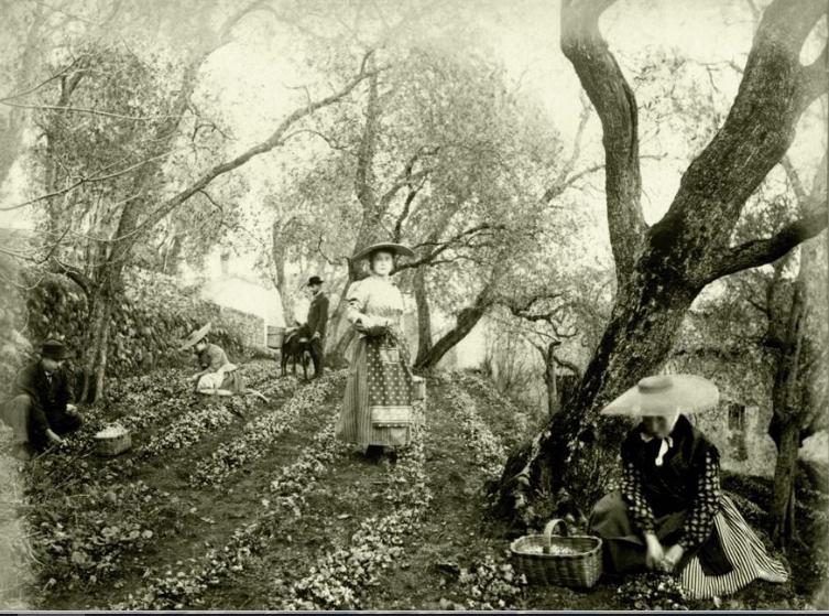 la culture de la violette, Tourrettes sur loup, Provence, cote d'azur