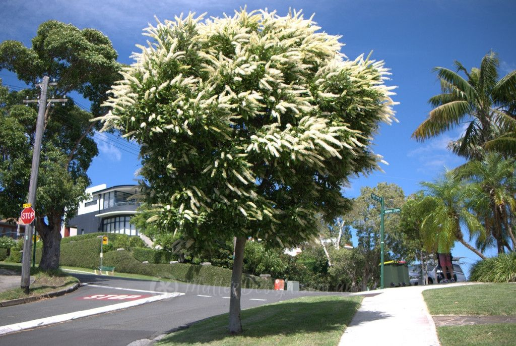 one of the best street trees  buckinghamia celsissima