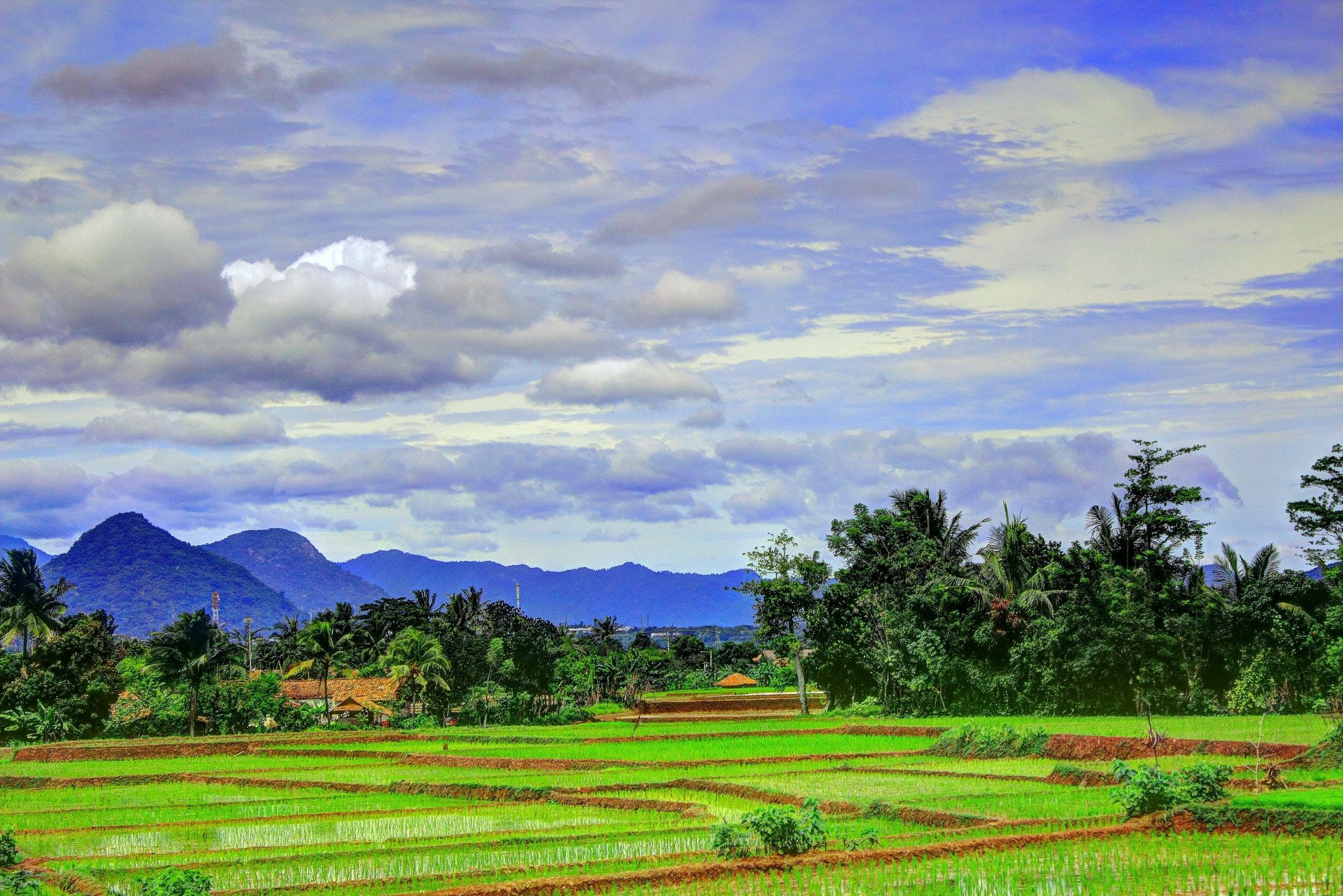 Rice Fields Ricefields At Somewhere In Purwakarta West Java Indonesia