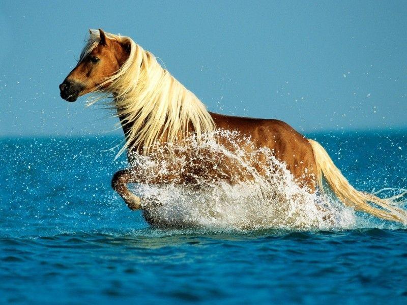 Un cheval palomino au galop dans l'eau