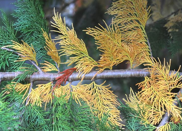 When Inner Conifer Needles Turn Yellow Or Brown Conifers Arborvitae Tree Conifer Trees