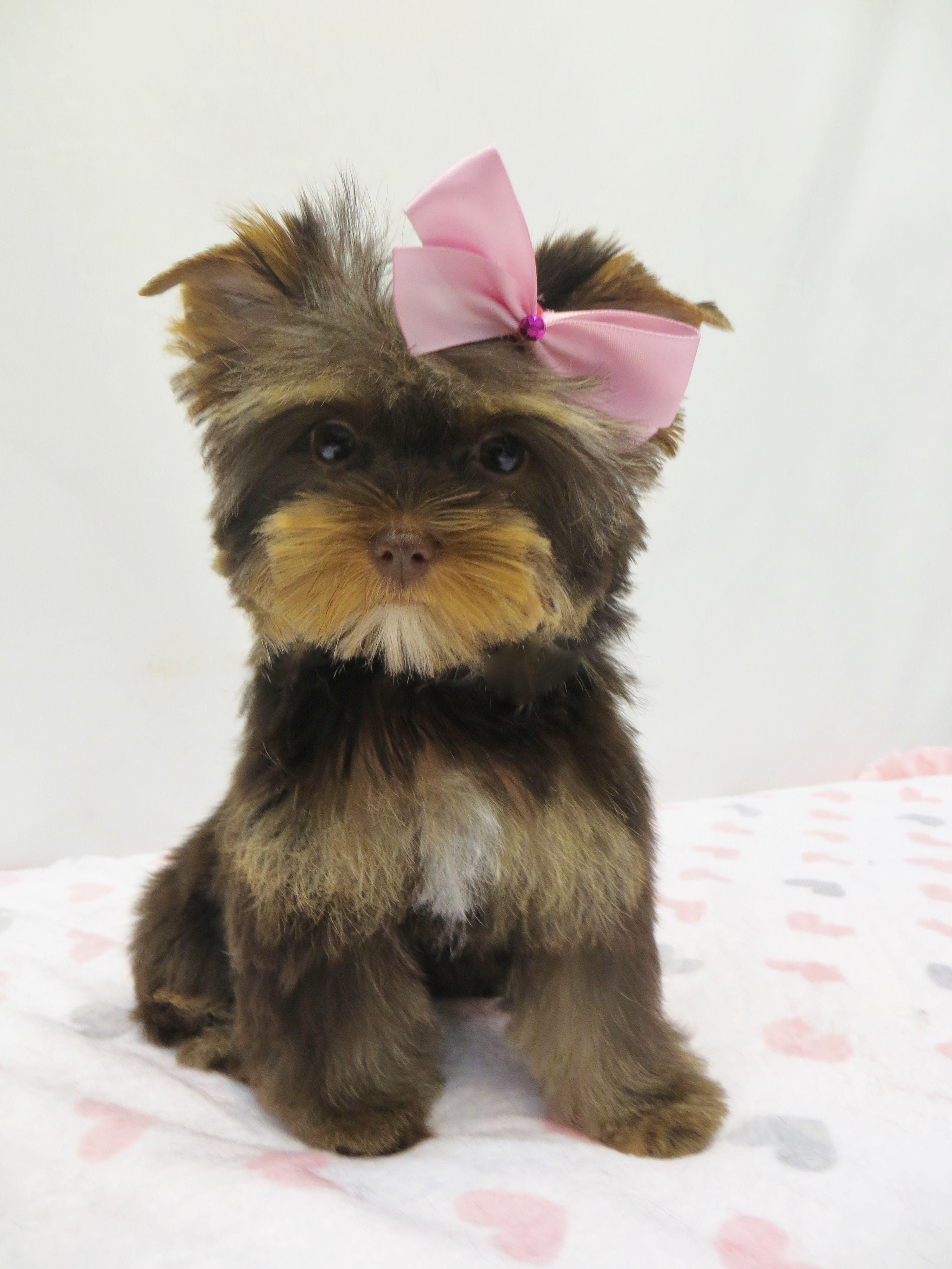 Chocolate Yorkie Www Poodlepenthouse Com Yorkie Yorkie Yorkshire Terrier Yorkie Puppy
