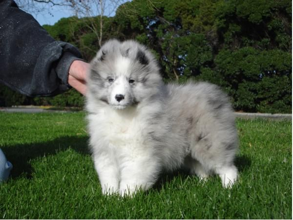 GCh. Sea Haven Etched In Silver - My sire as a puppy.