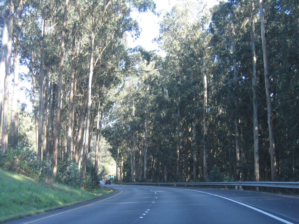 Tall Eucalyptus Blue Gum Trees Guard The Intersection Between U S 101 El Camino Real And California 156 East And Cannon Road And Eucalyptus Road California