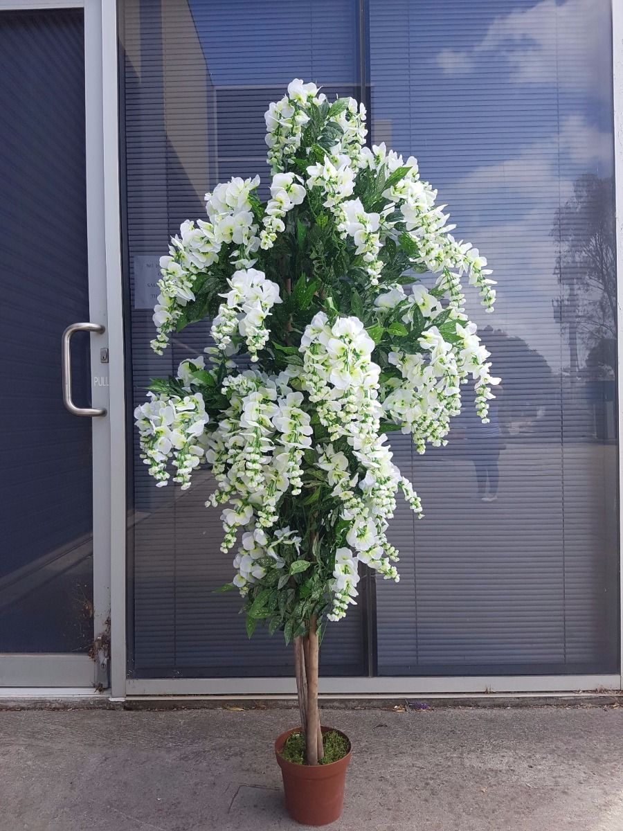 Draping White Flowering Wisteria Our 180cm Wisteria Trees Are Sold With White Flowers There Is Also A Purple V Indoor Outdoor Plants Plants Outdoor Plants