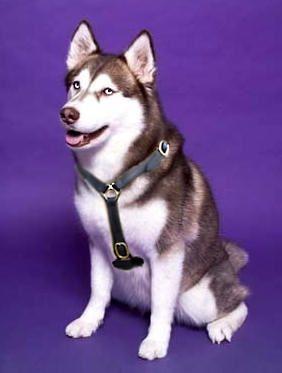 Siberian Husky Luxury Handcrafted Dog Harness Husky Harness