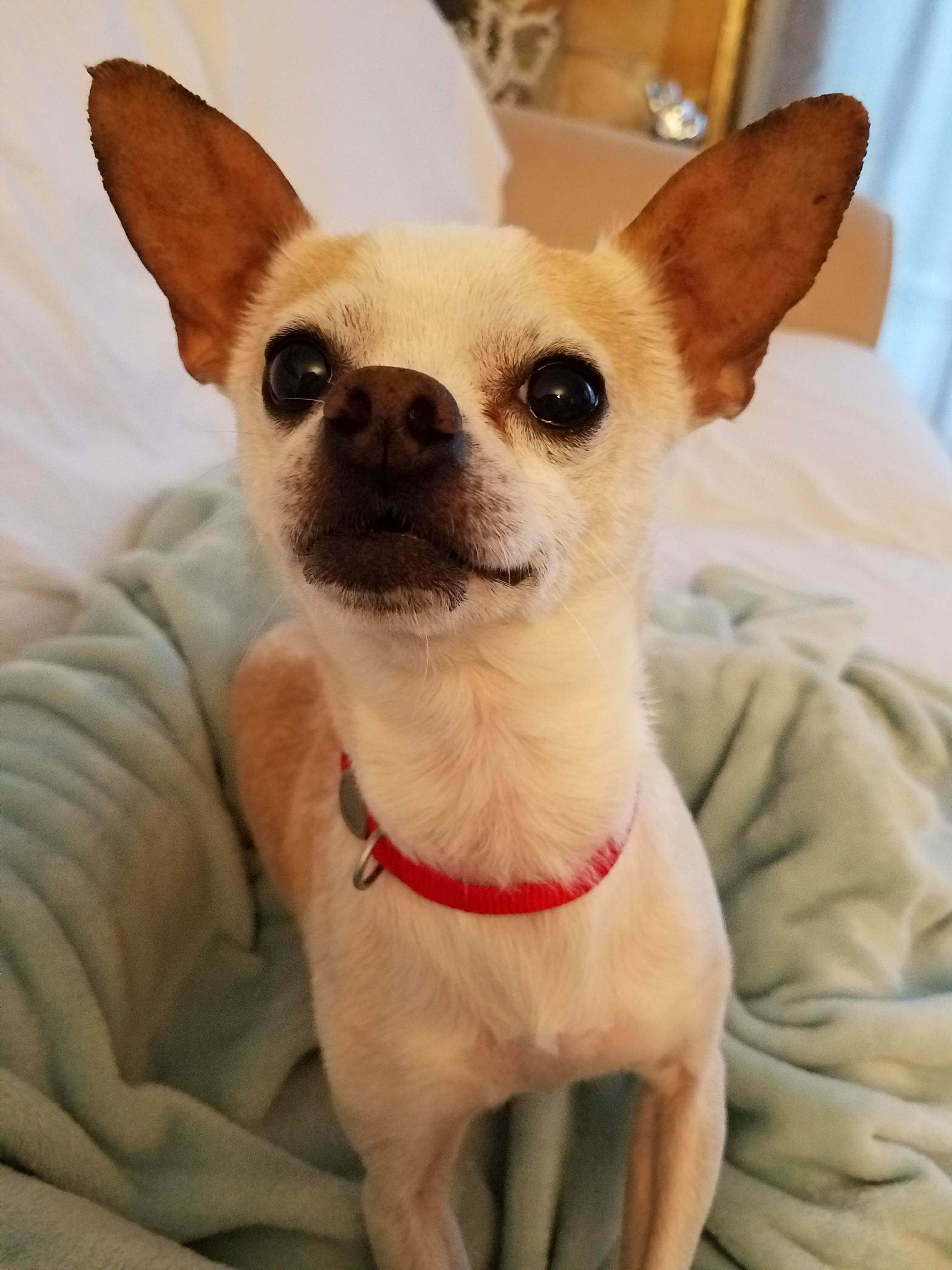 Chihuahua dog for Adoption in Minneapolis, MN. ADN725045