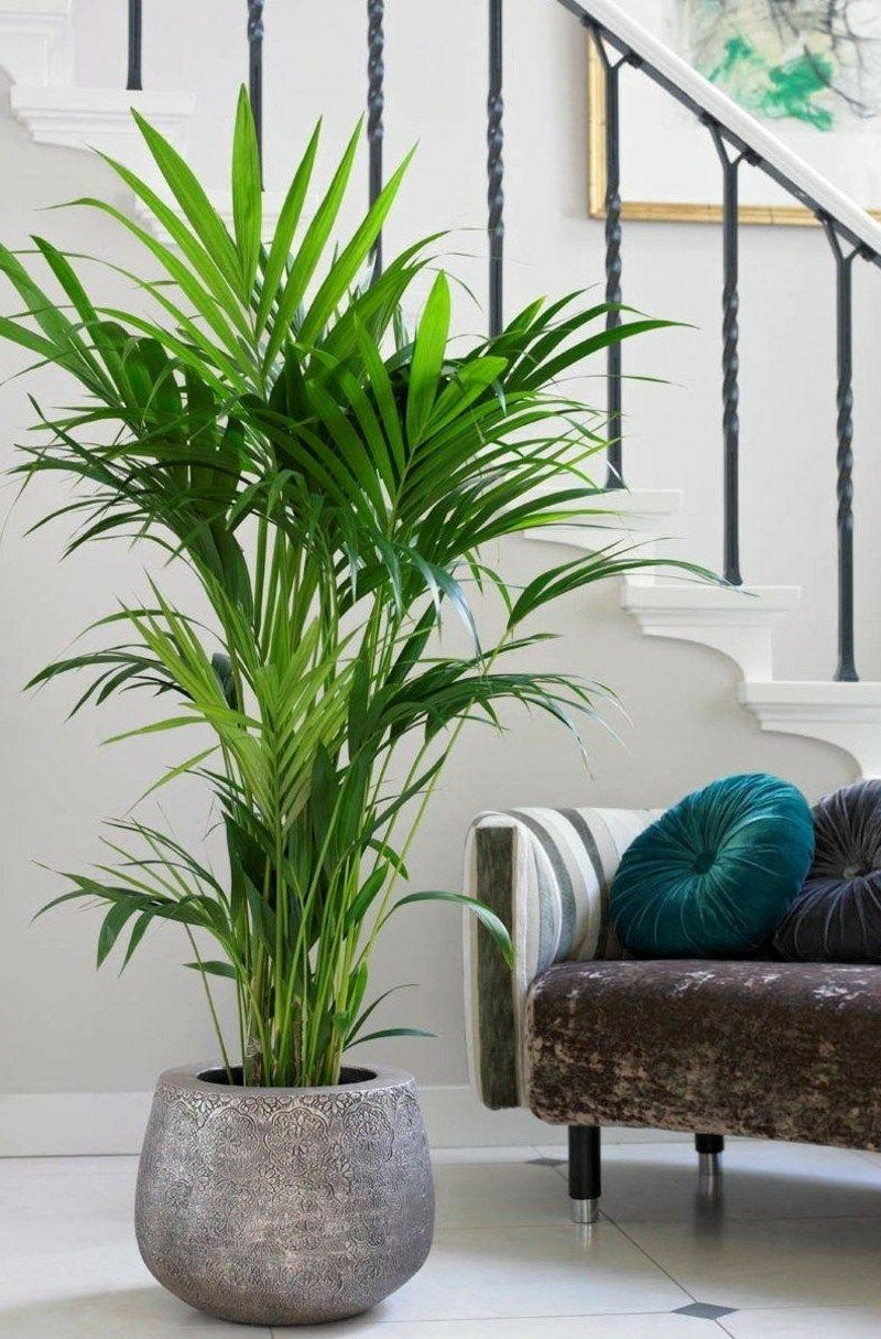 Kentia Palme Wohnzimmer Indoor Plants For Cleaning The Air For