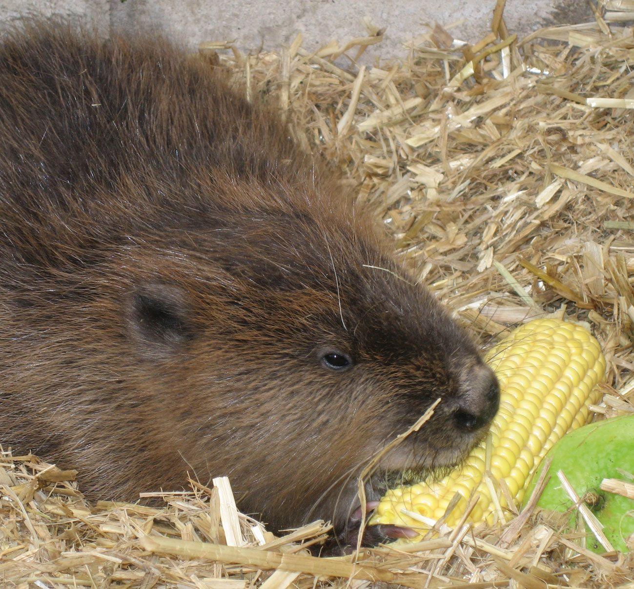 Beaver eating corn | Beaver | Pinterest | Animal