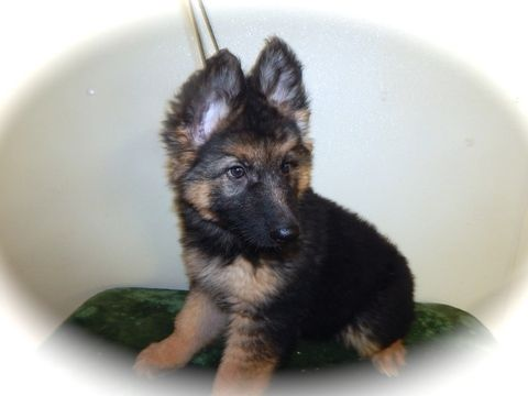 German Shepherd Dog Puppy For Sale In Palos Hills Il Adn 23523