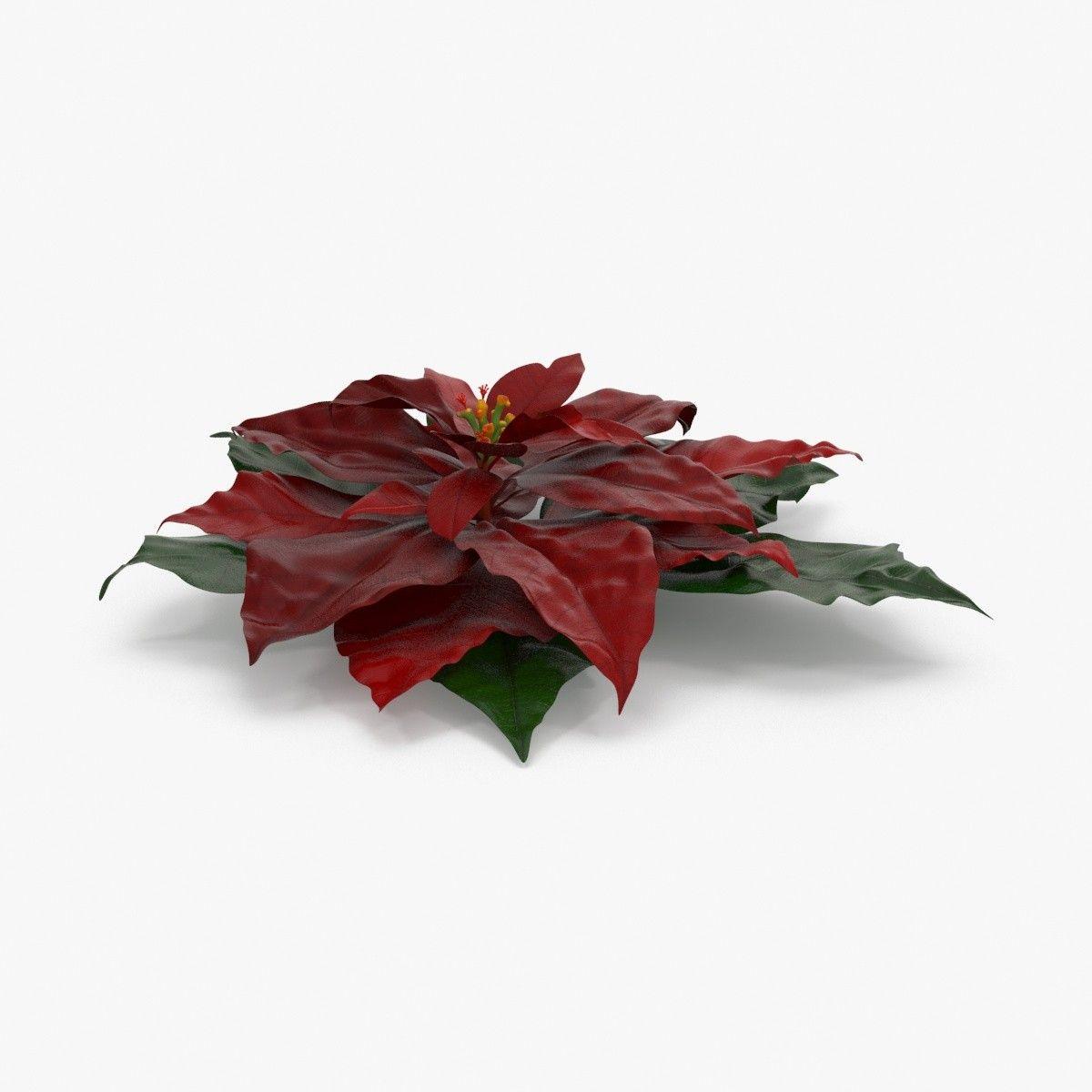 3d model poinsettia   Растения   Pinterest