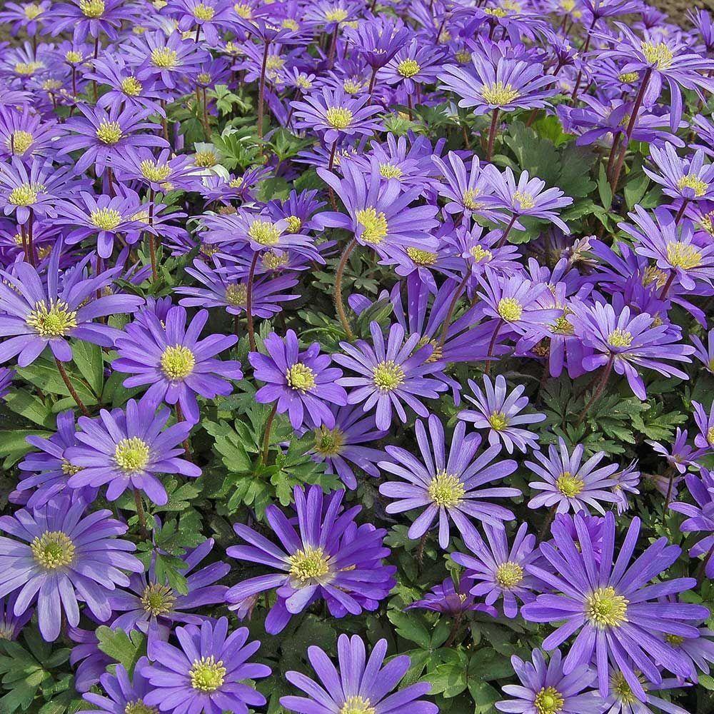 Anemone Blanda Blue Shades 1000 In 2020 Flower Garden Plans White Flower Farm Flower Landscape