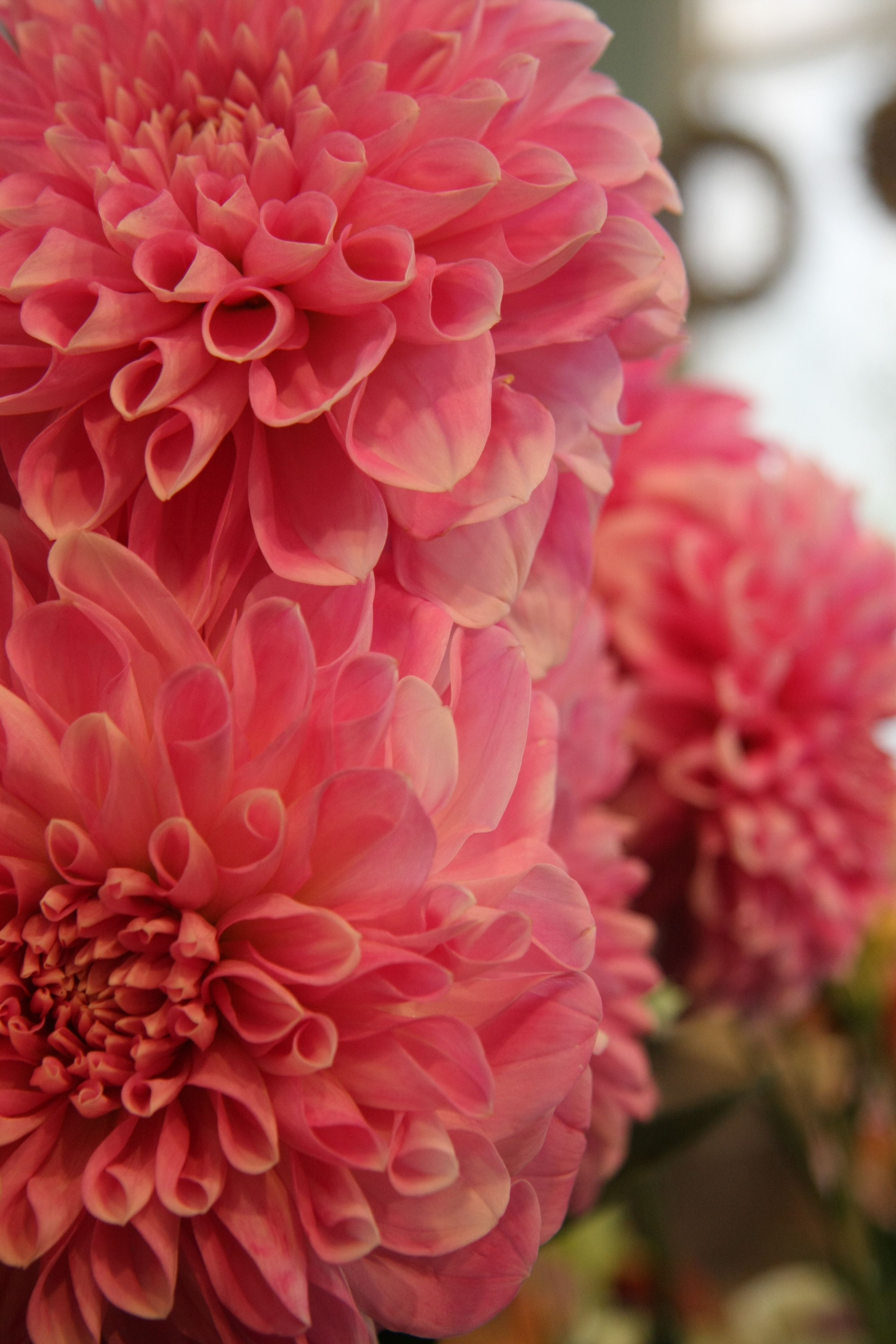 Dahlias Are Stunning Flowers And They Come In All Kinds Of Colors