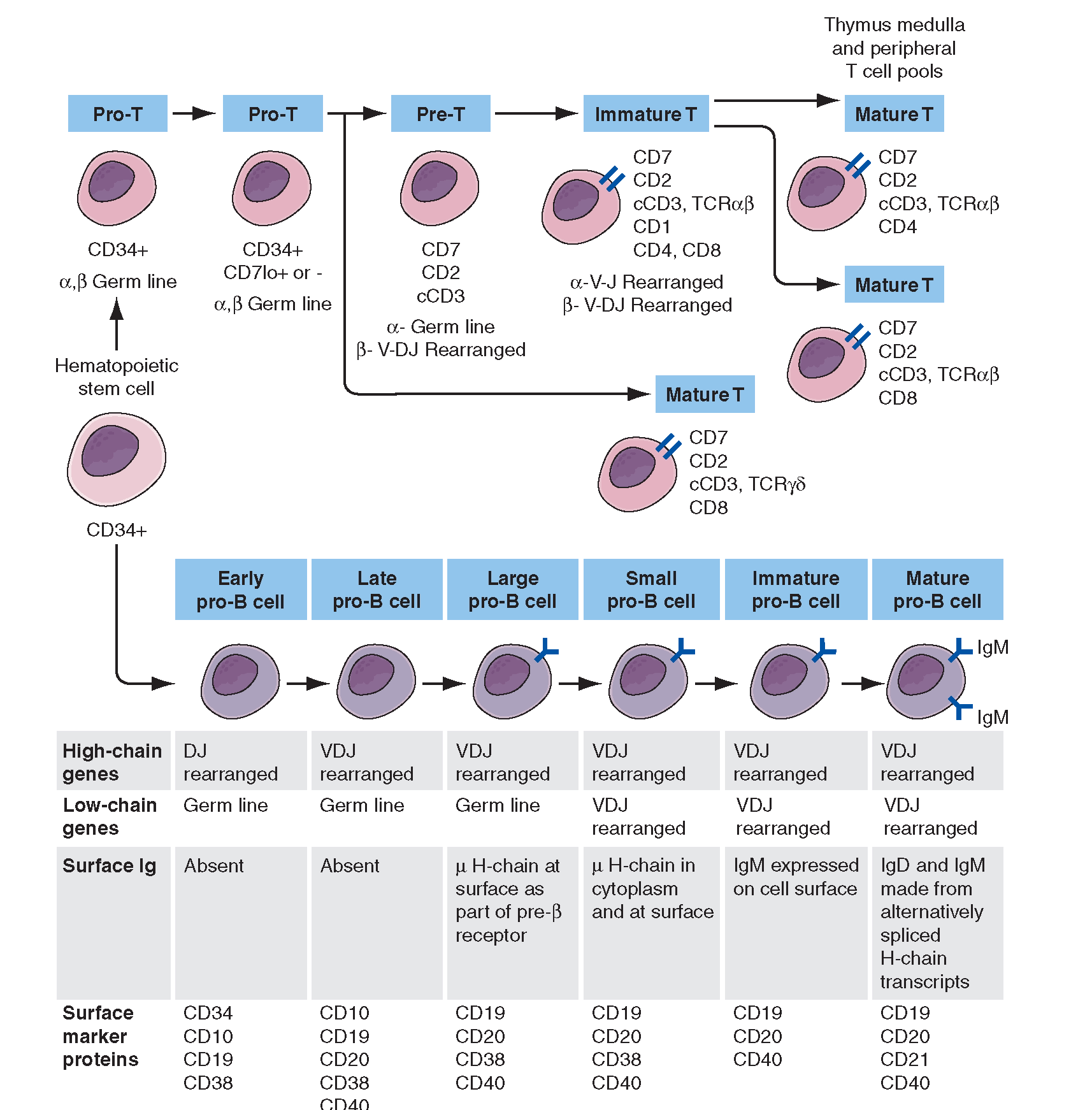 B and T Cell Development