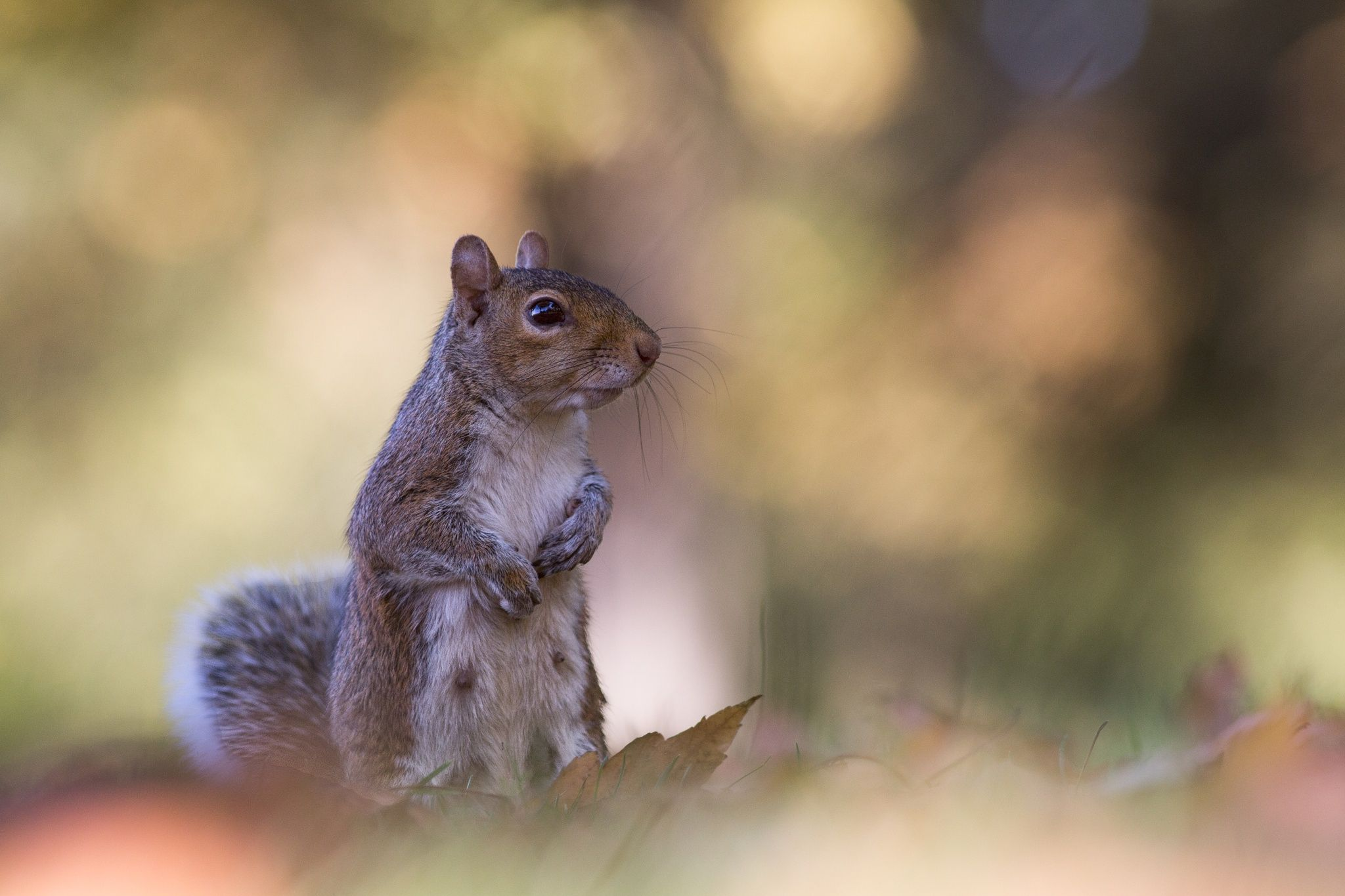 Miss Nutsy - A small squirrel of Hyde park