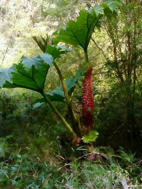 nalca es una planta ornamental y comestible del sur de