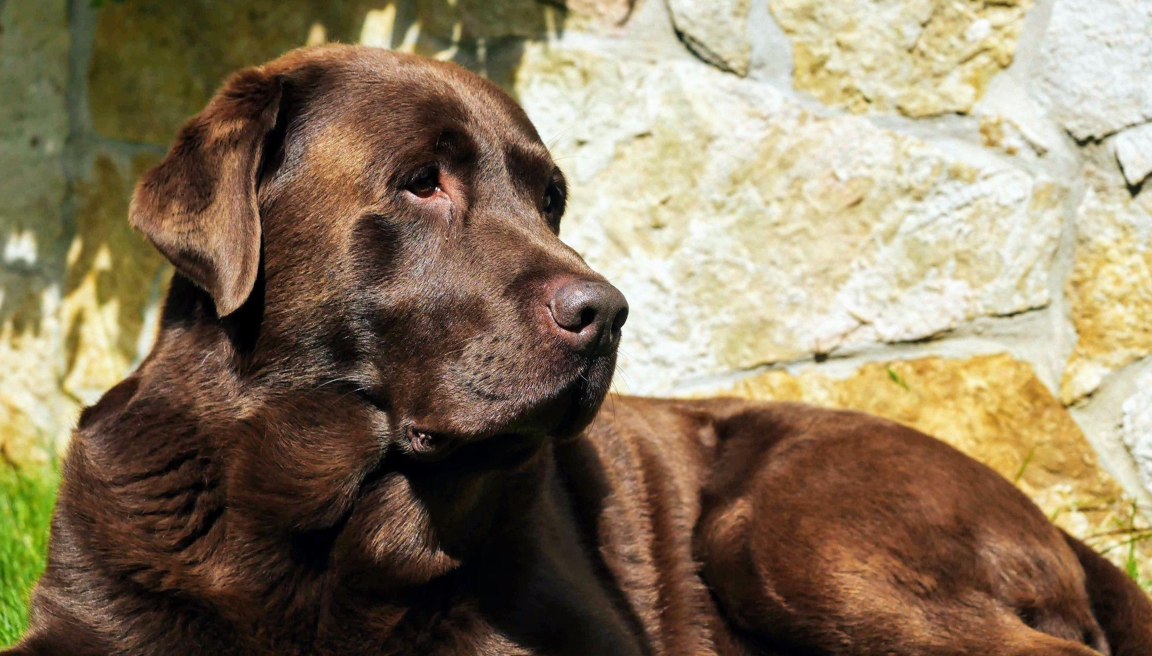 My Lab Dax And Sun Hunde Familienhund Wesen