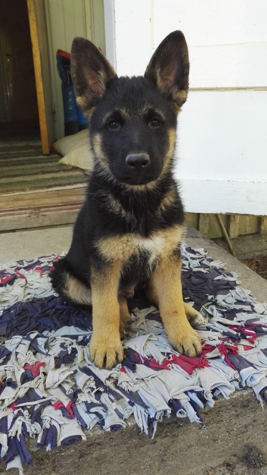 My Little German Sheperd Boy Mako Is Growing Bigger And Bigger