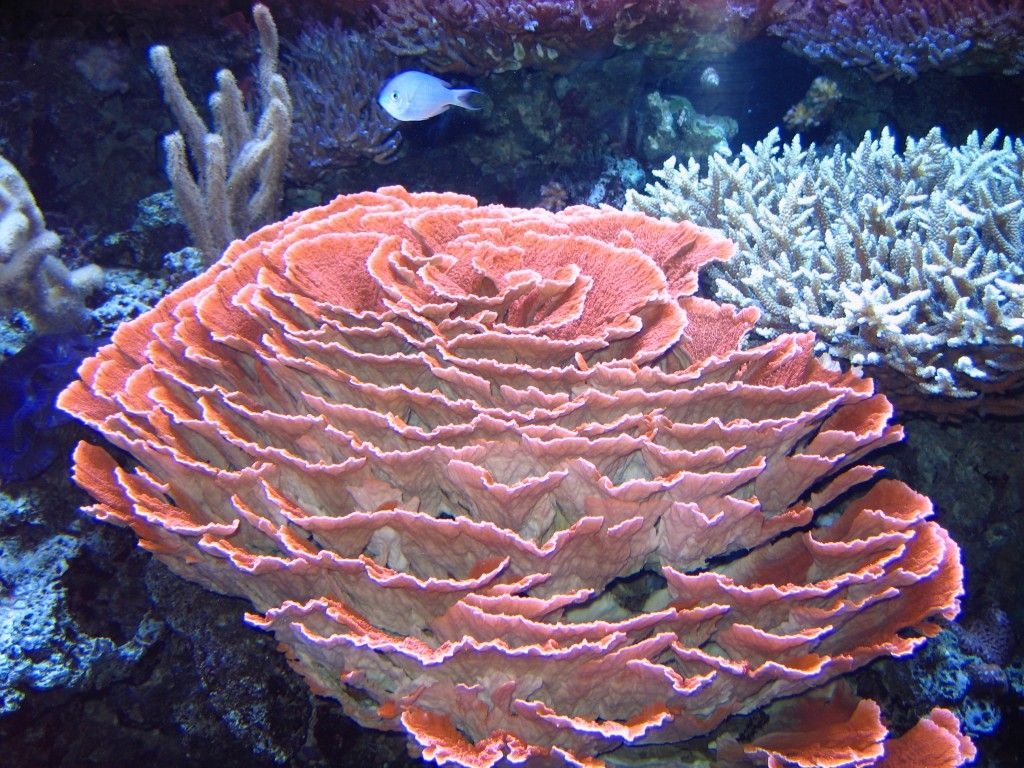 Corals animals exhibits pinterest coral reefs ocean and corals reviewsmspy