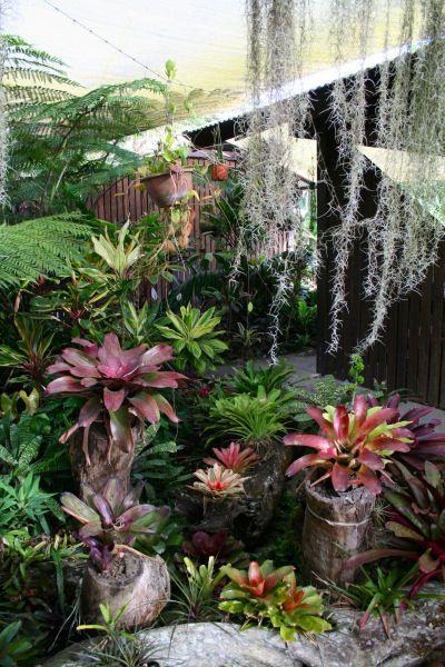 The International Cordyline Society Bromeliads Landscaping Tropical Backyard Landscaping Succulent Landscape Design