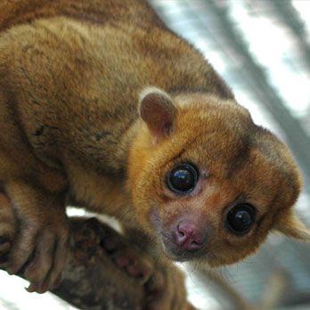 The kinkajou (Potos flavus), also known as the 'honey bear' (a name it shares with the sun bear), is a rainforest mammal  NOT  a monkey.  Native to Central America and South America, this mostly a frugivorous, arboreal mammal. However, they are hunted for the pet trade, for their fur (to make wallets and horse saddles) and for their meat. They may live up to 40 years in captivity.