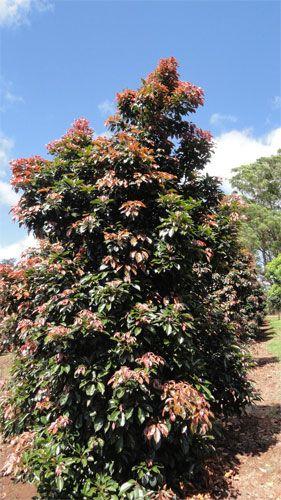 Elaeocarpus Eumundii Eumundi Or Smooth Leaved Quandong Australian Native Tree Australian Native Plants Garden Plants Design Australian Native Garden