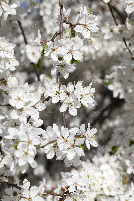 White Flowers Of Cherry White Flowers Cherry Flower Flowers
